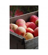 Apples for fresh consumation